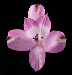 Floriano - lavender