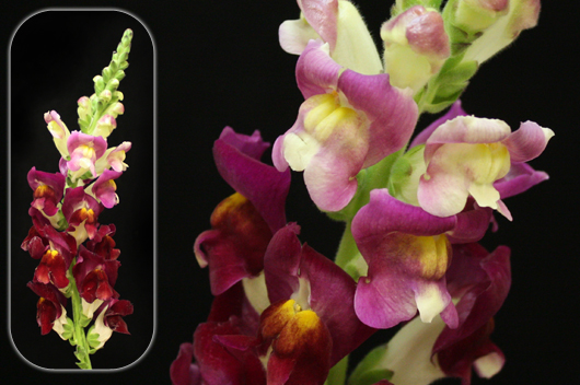 Bicolor Purple-Yellow Snapdragon