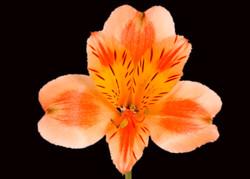 Orange Queen - orange