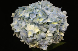 Jumbo Blue