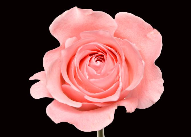 Peckoubo - pink