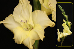 Yellow Gladiolus