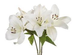 Lily - white