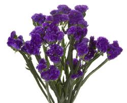 Statice - purple