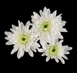 Zembla White