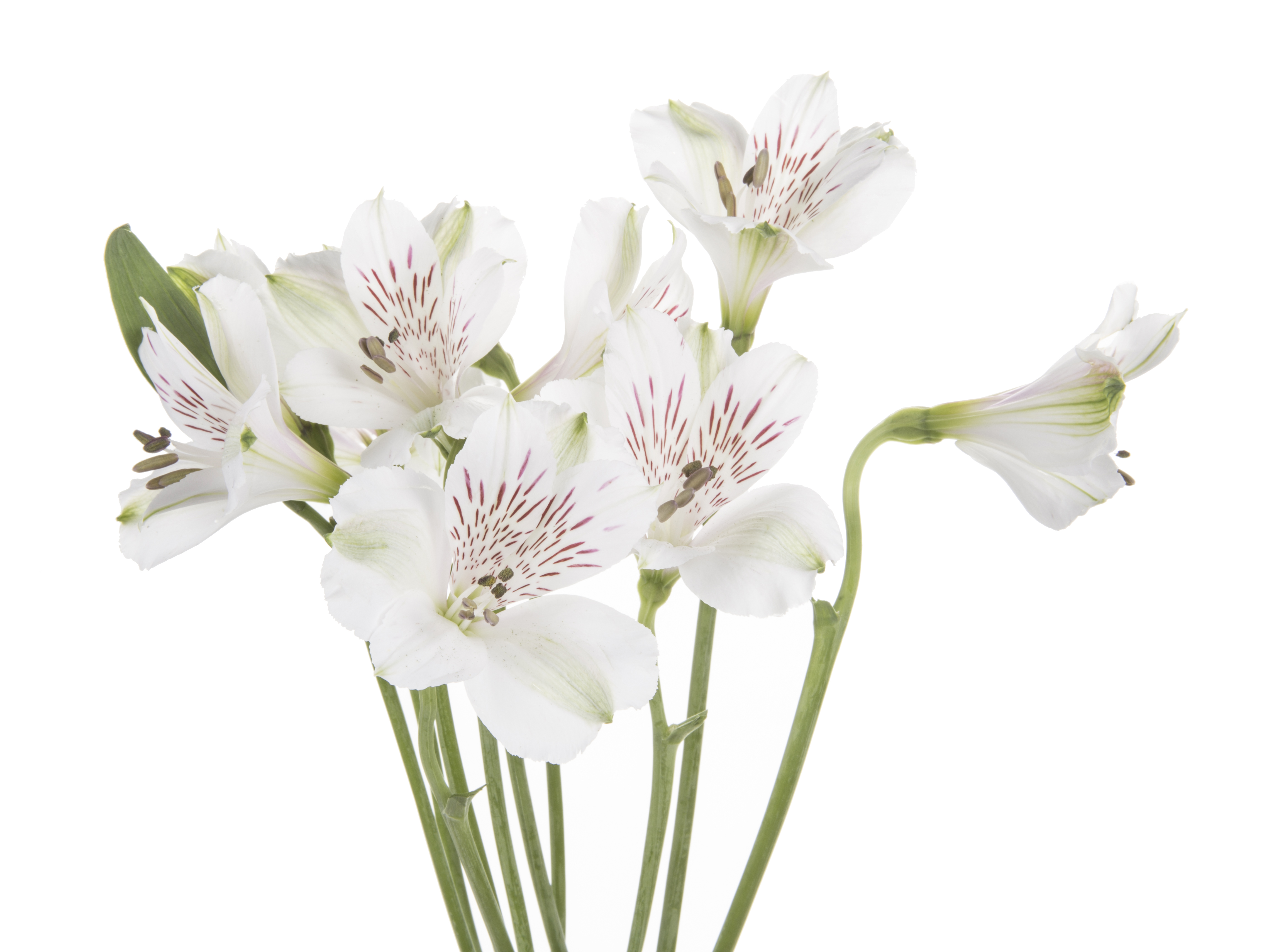 Alstroemeria - white