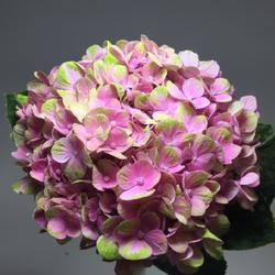 Coral Fresh - bicolor pink-green