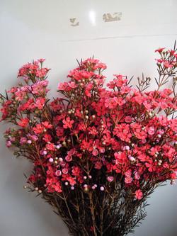 Rose Wax Flower