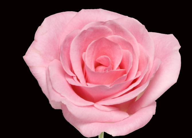 Light Orlando - pink