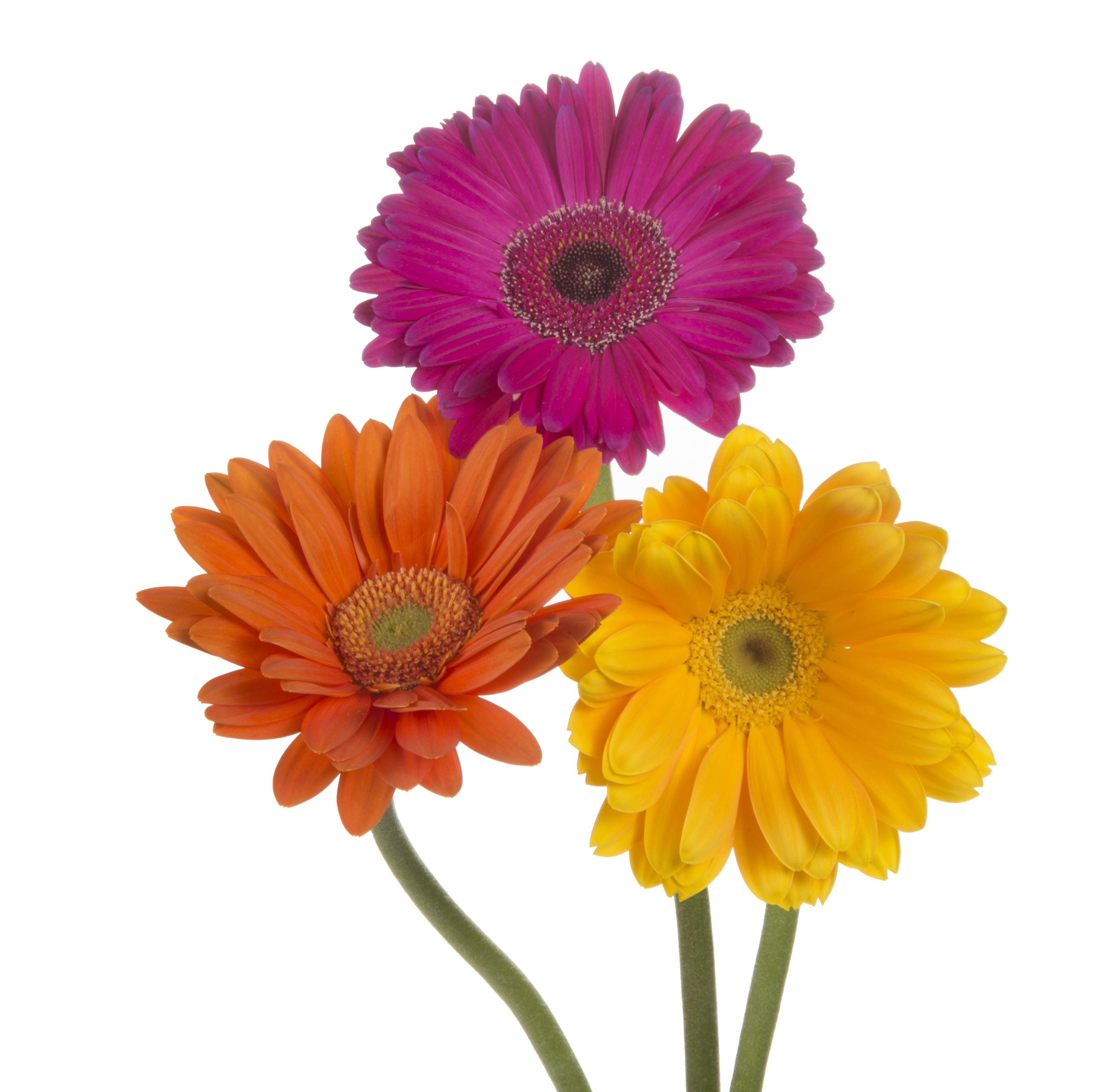 Gerbera - mixed 3 stems