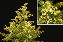 Yellow Solidago