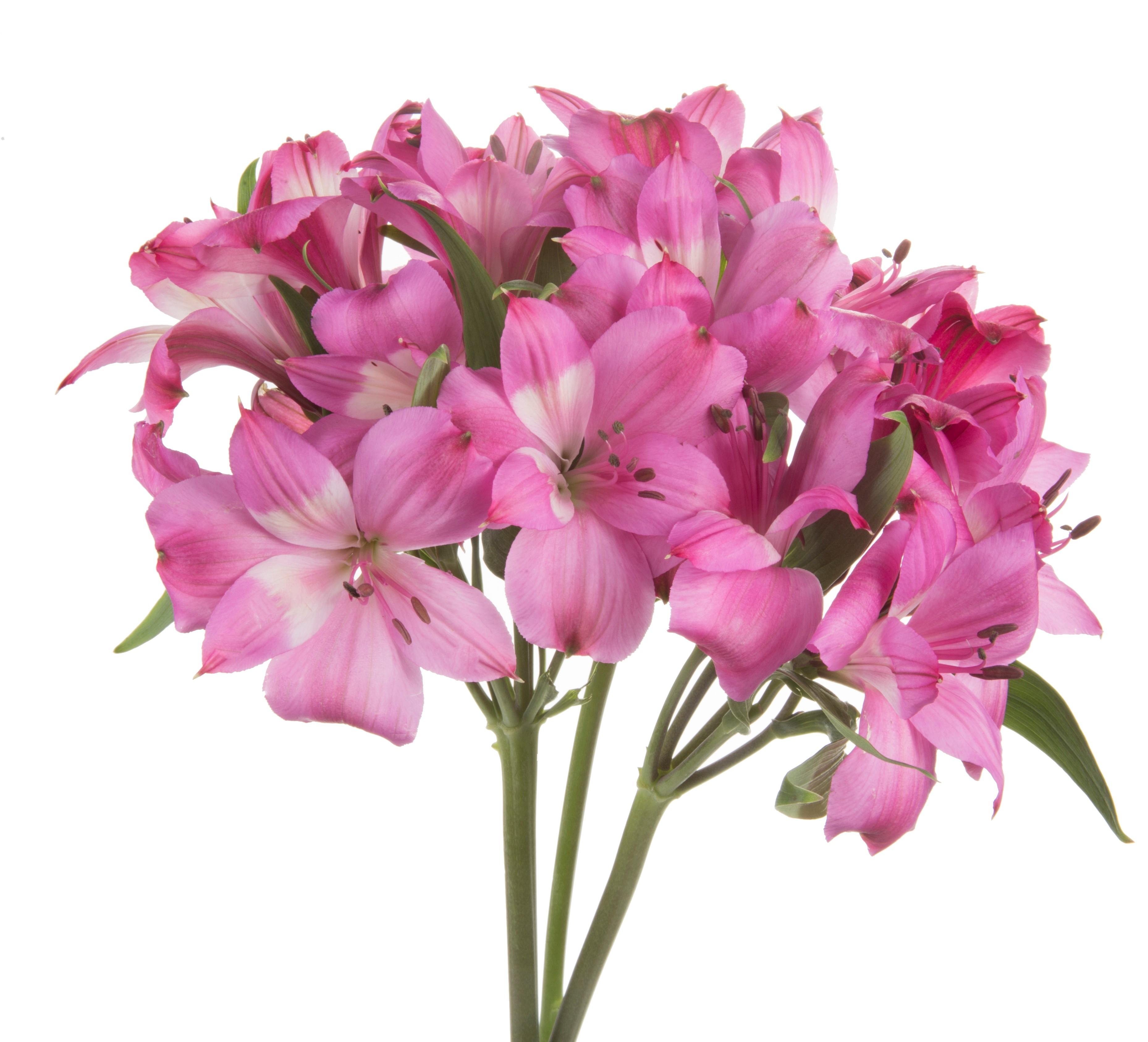 Alstroemeria - dark pink