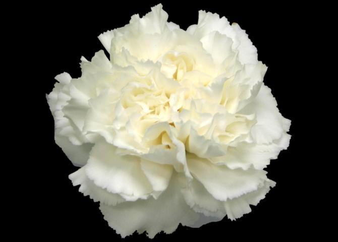 Komachi Blanco