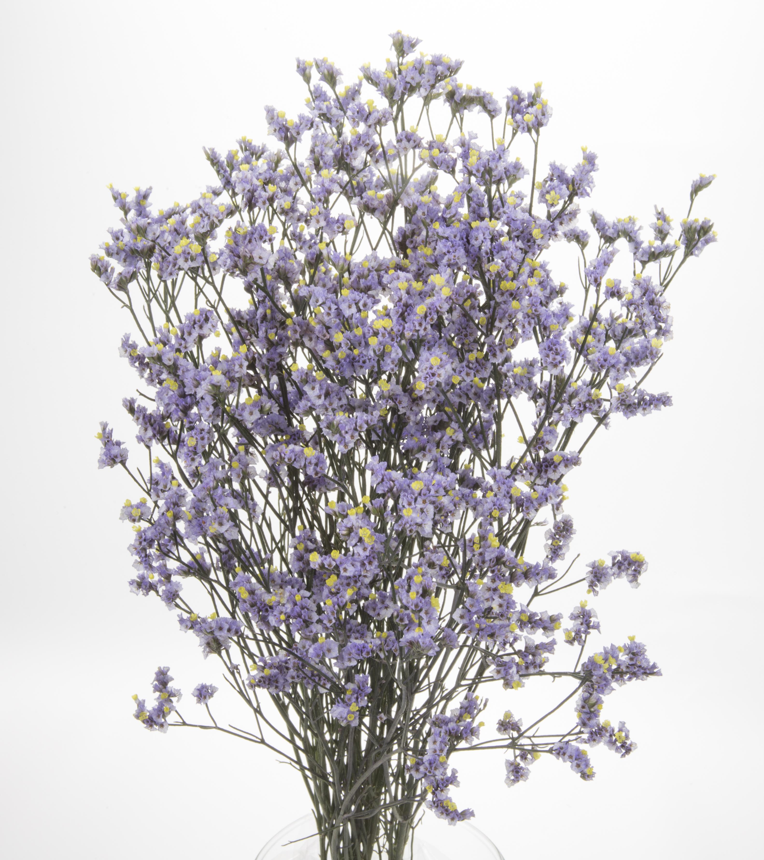 Sinensis - lavender