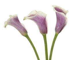 Calla - lavender 3 stems