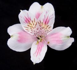 Rebecca - bicolor pink