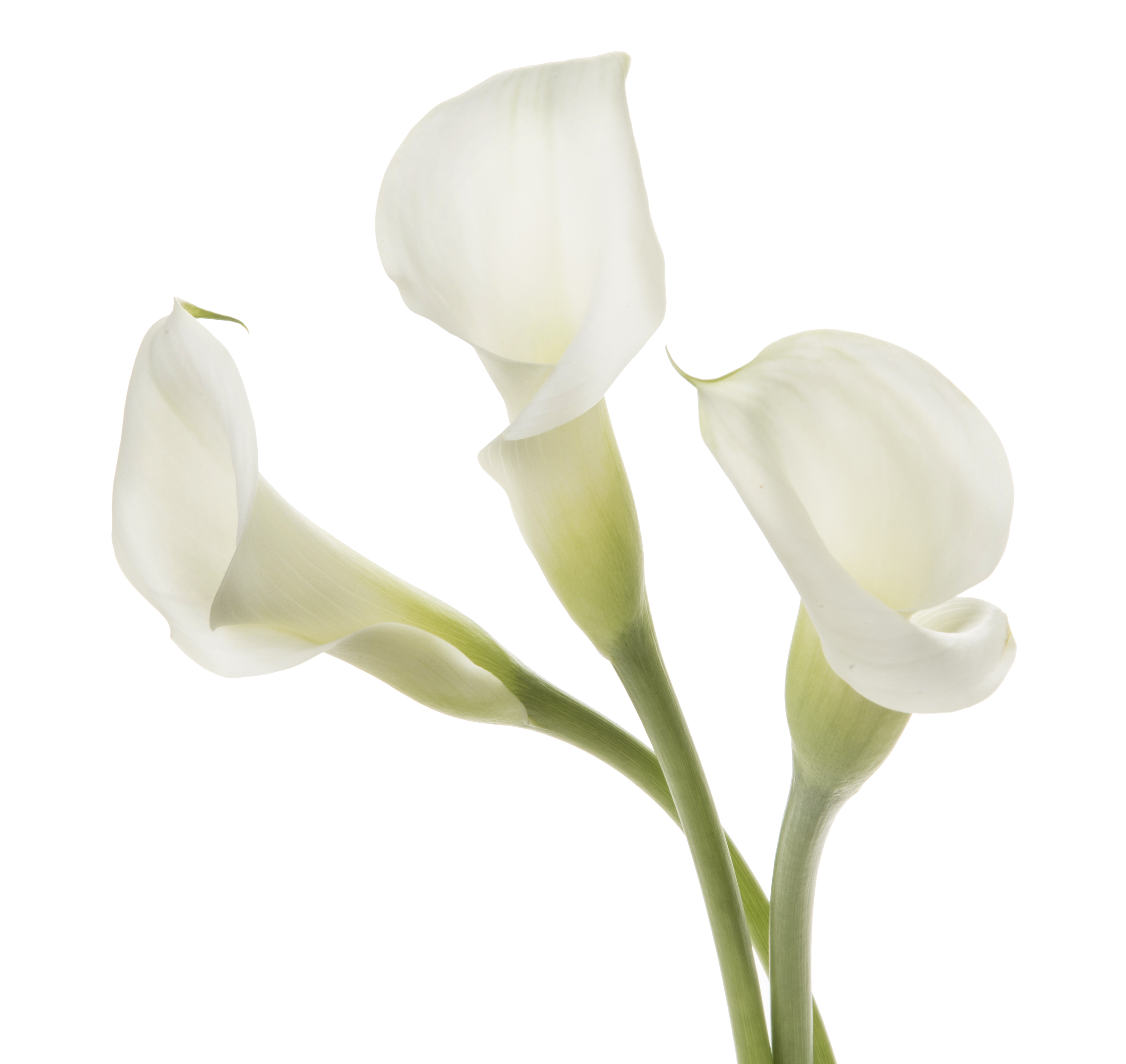 Calla - white 3 stems