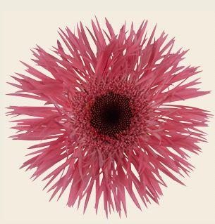 Spyder Springs - pink