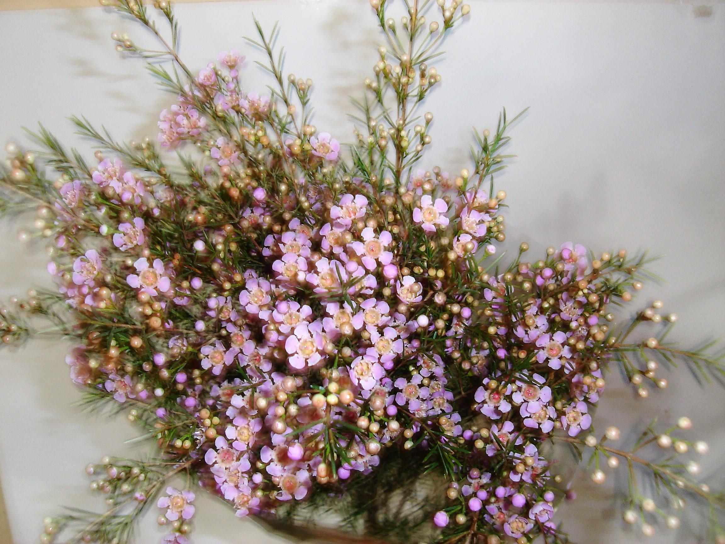 Lavender Wax Flower