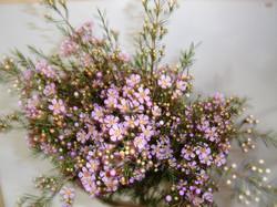 Wax Flower - lavender