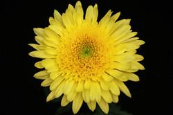 Eleonora - yellow
