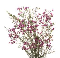 Wax Flower - purple