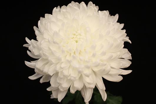 White Chita