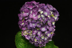 Hydrangea - natural purple