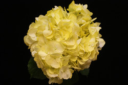 Spray Yellow Hydrangea