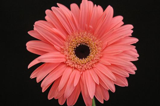 Ravel - pink