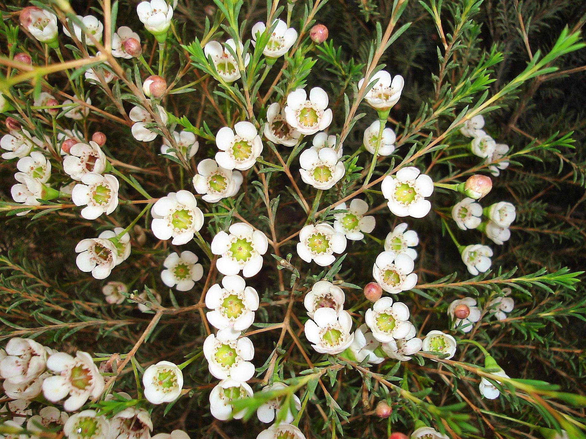 Solefarmsnew wax flower white wax flower mightylinksfo Choice Image