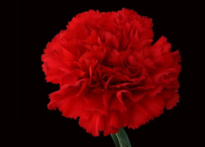 Daniko - red