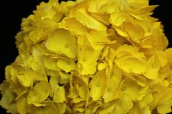 Tinted Yellow Hydrangea