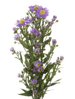 Aster - purple