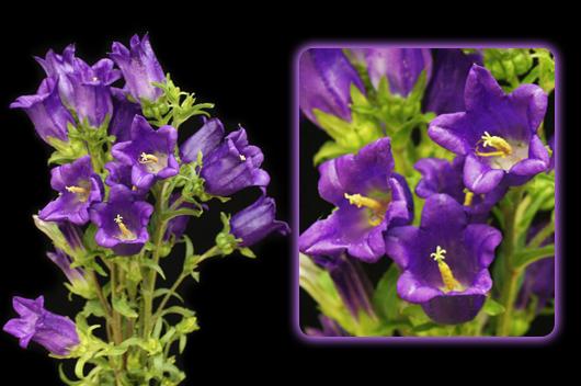 Purple Campanula