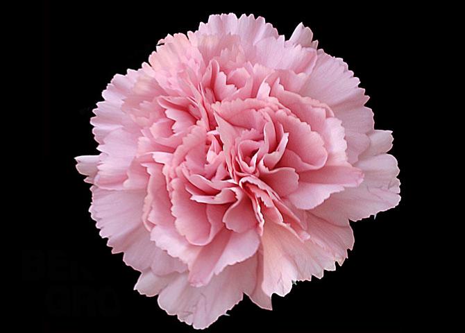 Madelon - pink