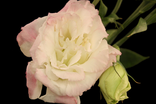 Bicolor Pink-White Lisianthus
