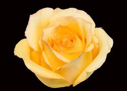 Tressor - yellow
