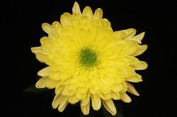 Galactica - yellow