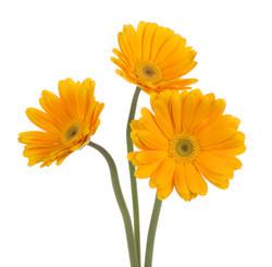 Gerbera - yellow 3 stems