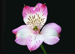 Pumori - pink
