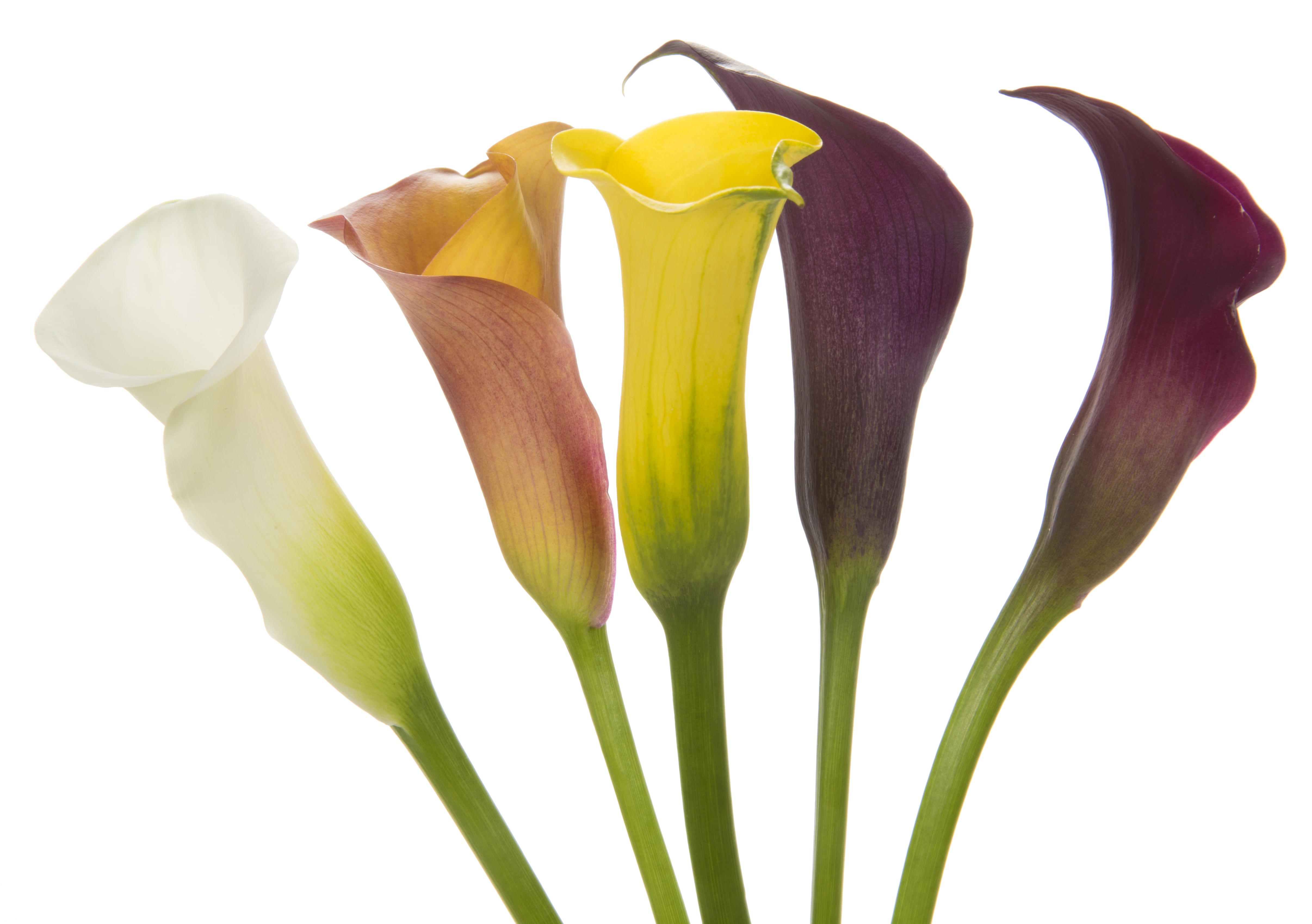 Calla - mixed 5 stems