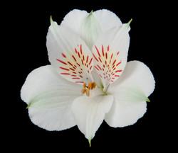 Whistler - white