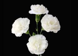Ibis - white