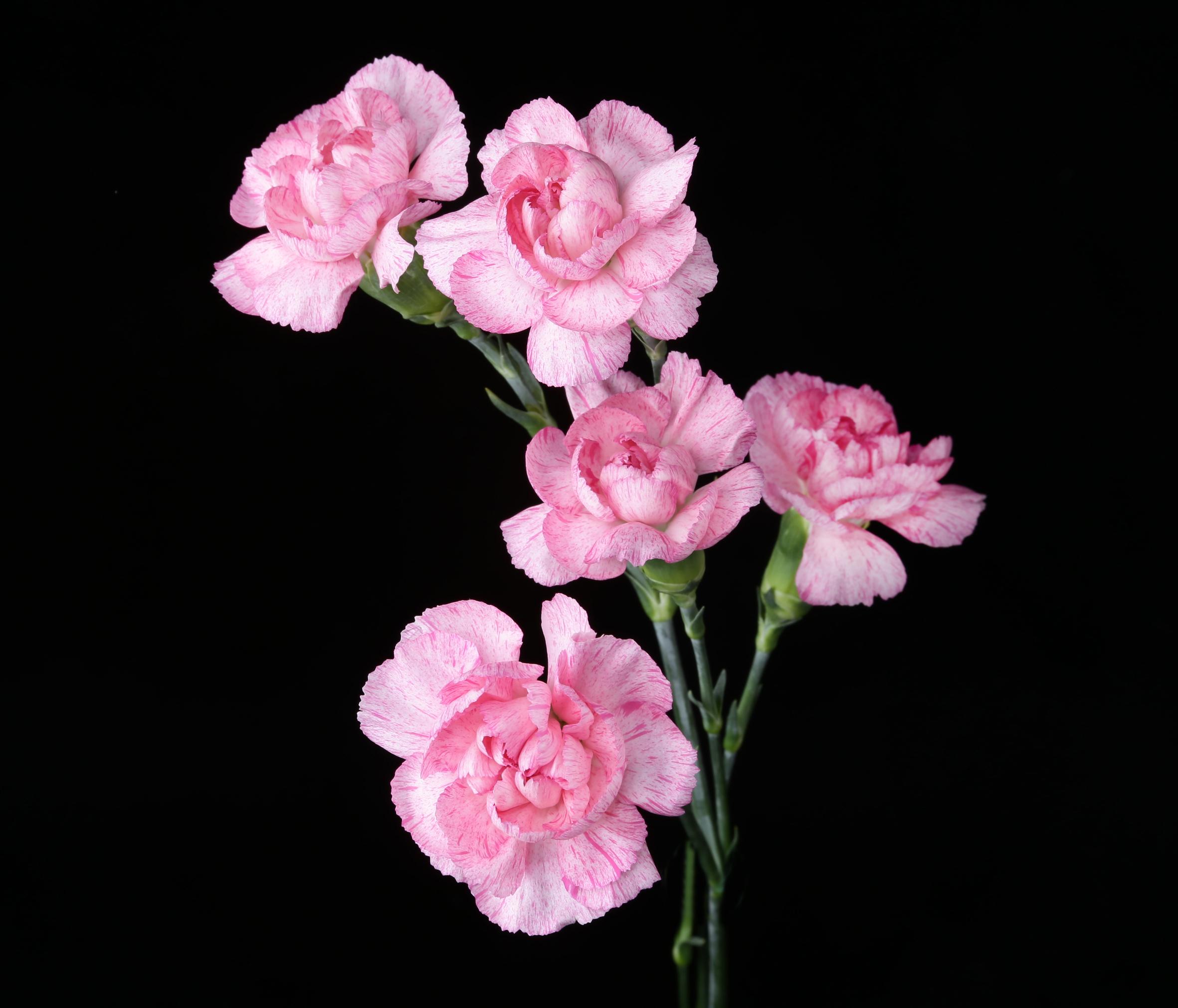 Paranoya - novelty pink