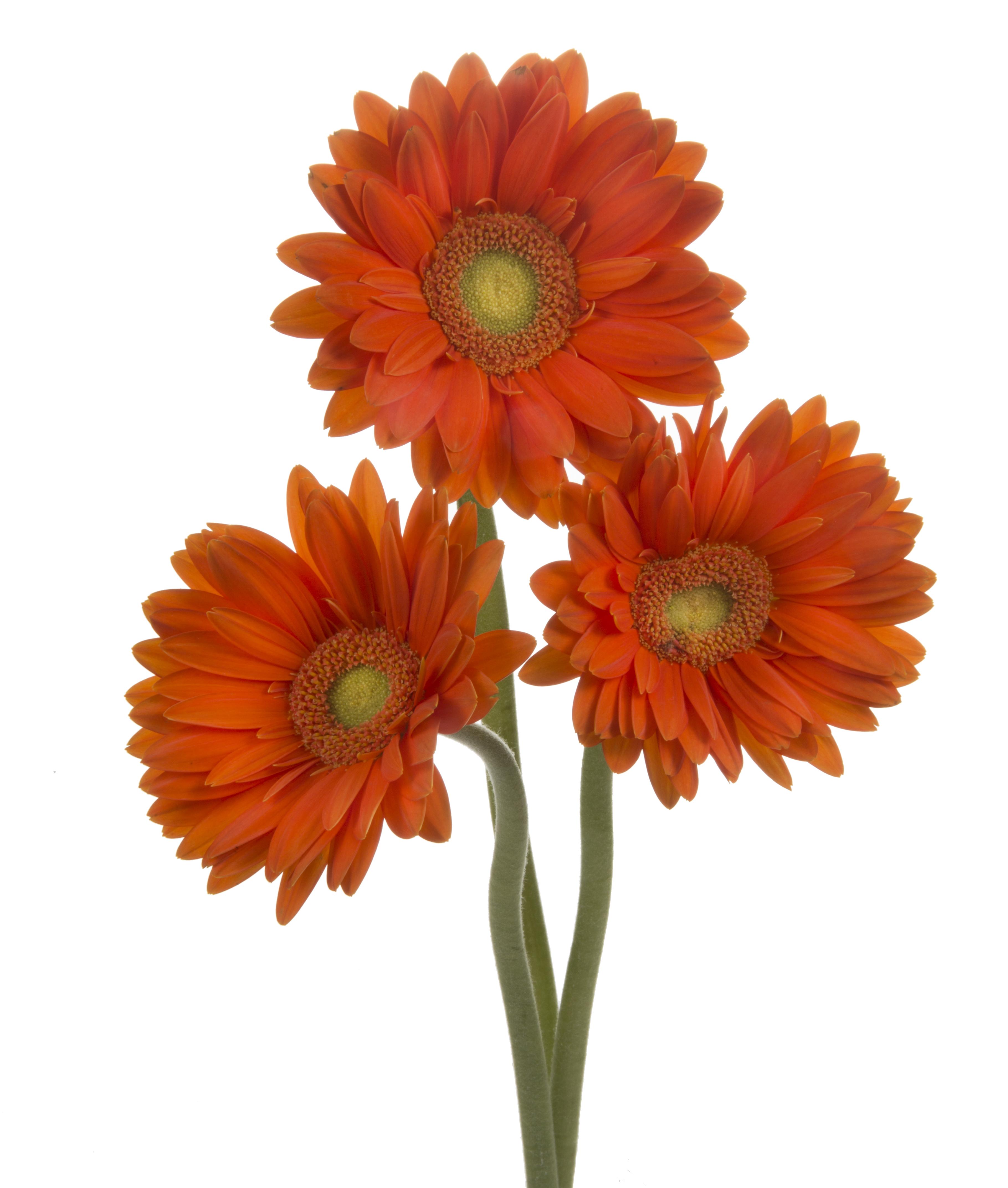 Gerbera - orange 3 stems