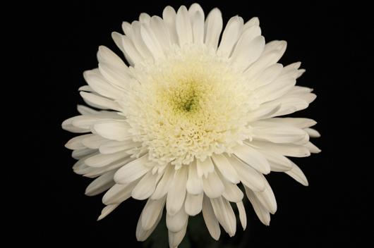 Eleonora - white