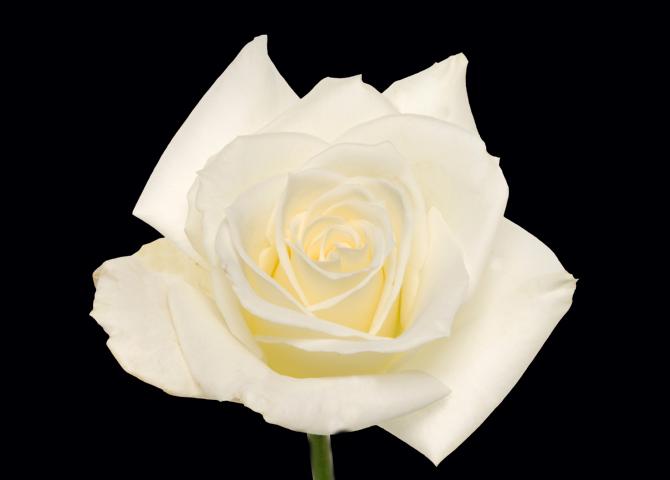 Escimo - white