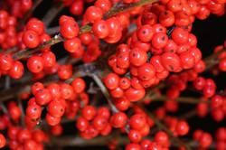 Red Ilex Berries