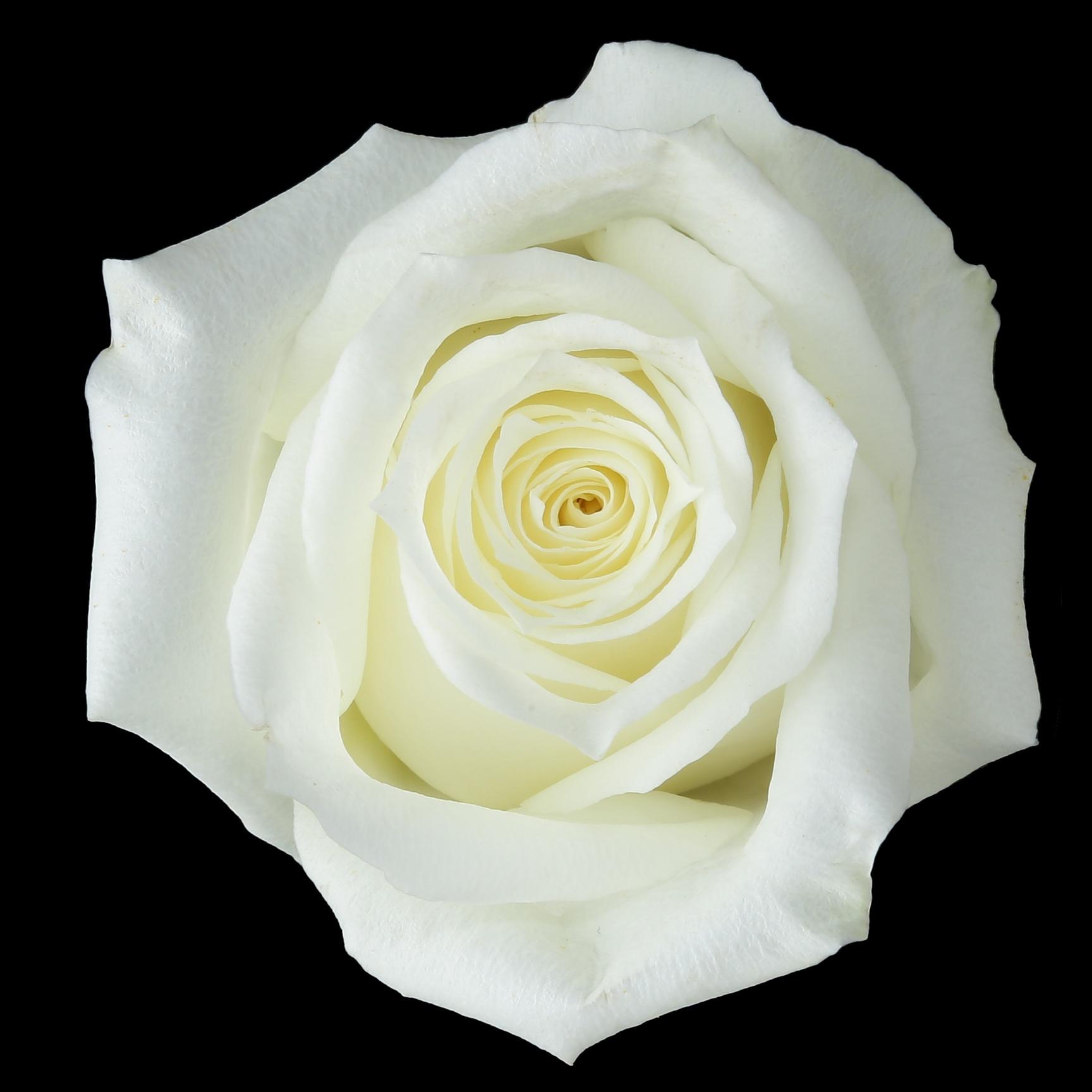 Vanilla - white